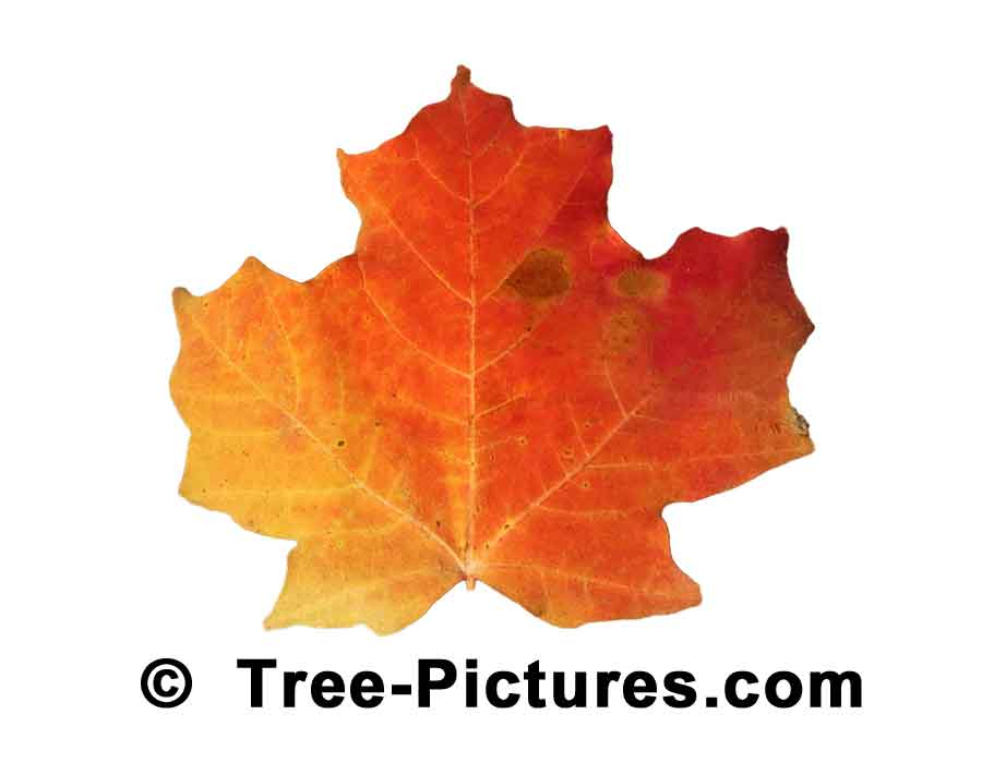Maples: Striking Red Orange Color of the Maple Tree Leaf in Fall | Maple Trees at Tree-Pictures.com