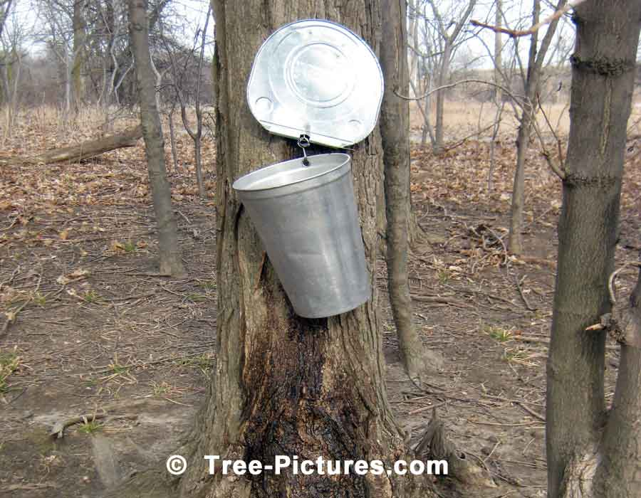 Maple Syrup, Spring Maple Tree Produces Sap which is Boiled into Syrup | Maple Trees at Tree-Pictures.com