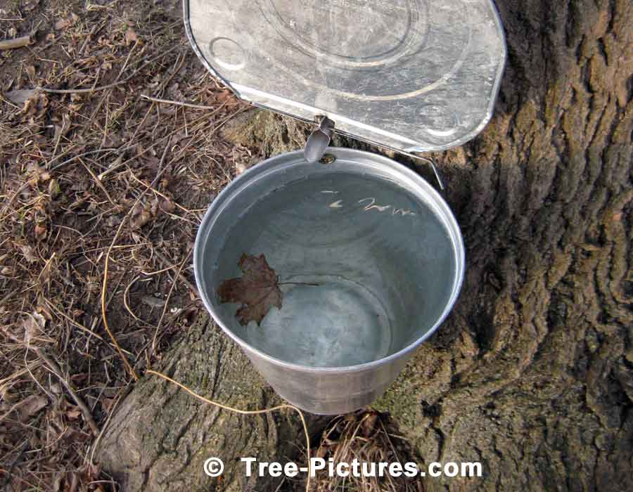 Full Bucket of Maple Tree Sap which is Boiled into Syrup | Maple Trees at Tree-Pictures.com
