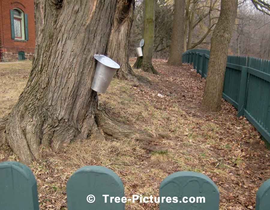 Maple Syrup, Tapping of Maple Trees To Collect Sap Which Is Boiled To Make Maple Syrup | Maple Trees at Tree-Pictures.com