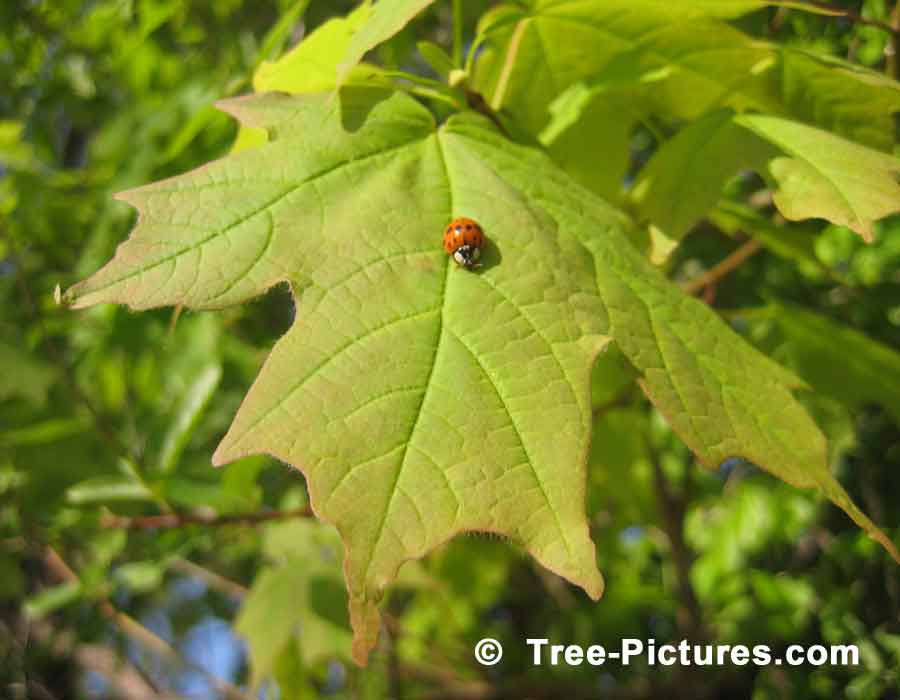 Maple Tree: Green Maple Leaf with Lady Bird Visitor | Maple Trees at Tree-Pictures.com