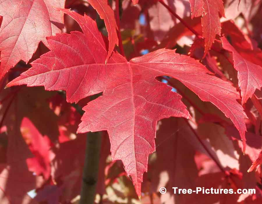 Bright Red Leaf from the Acer Maple Tree | Maple Trees at Tree-Pictures.com