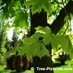 Maple Tree Leaves in Summer | Maple Trees at Tree-Pictures.com