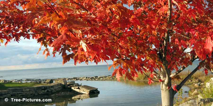 Red Maple: Lakeside Maple Tree Landscape in Autumn | Maple Trees at Tree-Pictures.com