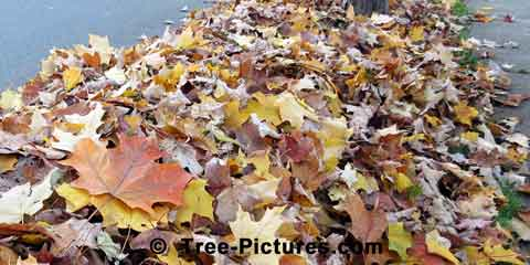 Maple Leaf: Leaves of Maple Trees Raked into Pile for Collection | Tree:Maple+Autumn+Leaves at Tree-Pictures.com