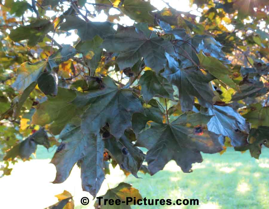 Norway Maple Leaf, Crimson King Norway Maple Tree Leaf | Maple Trees at Tree-Pictures.com