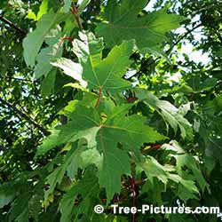 Leaves From A Red Maple Tree | Tree: Maple+Red+Leaves @ Tree-Pictures.com