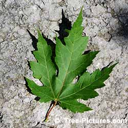 Leaf From A Red Maple Tree | Tree: Maple+Red+Leaf @ Tree-Pictures.com