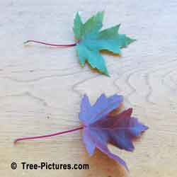 Maple Leaves, Two Red Maple Tree Leaf Comparison | Tree:Maple+Red+Leaf @ Tree-Pictures.com