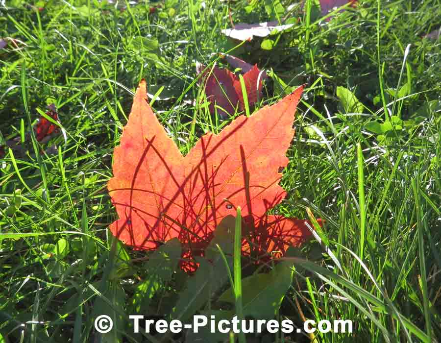Red Maples: Unique Image of a Red Maple Leaf | Maple Trees at Tree-Pictures.com