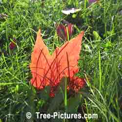 Red Maples: Unique Image of a Red Maple Leaf | Tree:Maple+Red+Leaf @ Tree-Pictures.com