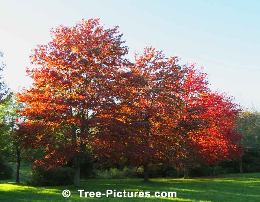 Maples, Bright Red Maple Trees | Maple Trees at Tree-Pictures.com