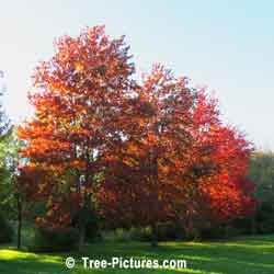 Maples, Bright Red Maple Trees in Autumn | Tree:Maple+Red @ Tree-Pictures.com