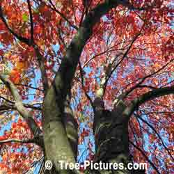 Striking Image of Red Maple Looking Up Through the Branches of a Red Maple Tree | Tree:Maple+Red @ Tree-Pictures.com