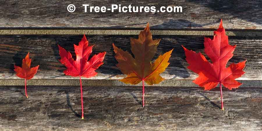 Red Maple: 4 Maple Tree Leaf Line Up | Maple Trees at Tree-Pictures.com