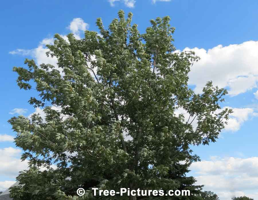 Maples, Silver Maple Tree Type | Maple Trees at Tree-Pictures.com