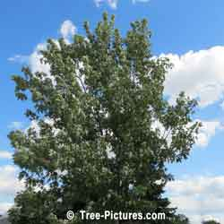 Maples, Silver Maple Tree Type | Tree:Maple+Silver @ Tree-Pictures.com