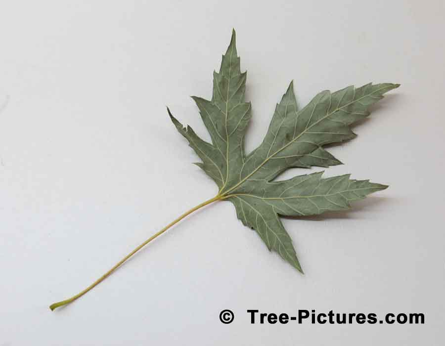 Maples, Silver Maple Leaf Picture Showing Silver/Grey Underside of Leaf | Maple Trees at Tree-Pictures.com