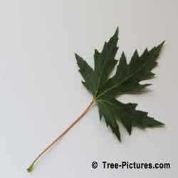 Silver Maple Tree Leaf | Tree:Maple+Silver+Leaf @ Tree-Pictures.com