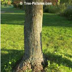 Silver Maple Bark, Bark of Silver Maple Tree | Tree:Maple+Silver+Bark @ Tree-Pictures.com
