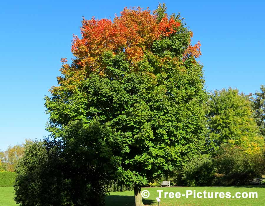 http://tree-pictures.com/images/treephotos-maple/sugarmaple/tree-maple.jpg