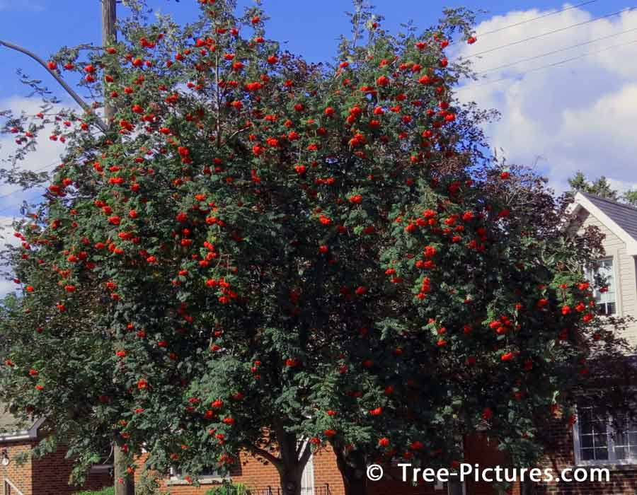 Mountain Ash, Red Berry Mountain Ash Tree