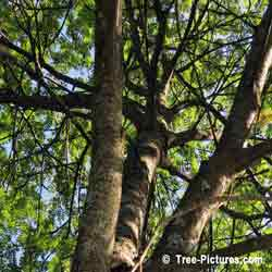 Mountain Ash Trees, Picture of Trunk and Branches on Mountain Ash Tree