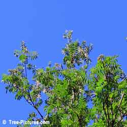Mountain Ash Trees, Green Leaves of Mountain Ash Tree