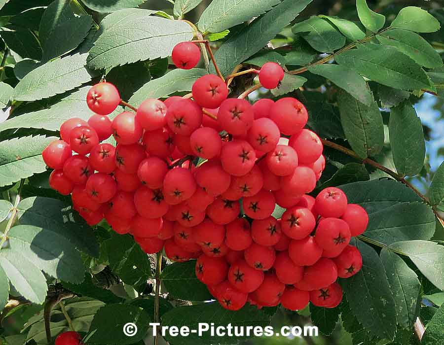 Hawthorn Tree Berries Trees Autumn Red Berries
