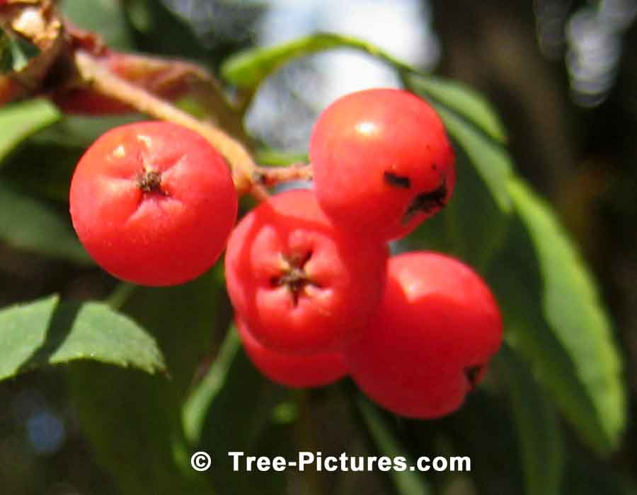 American Mountain Ash, Red Berry Fruit Image