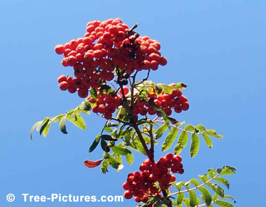 Mountain Ash Tree, Close Up Photo of Abundant Red Berries of the Mountain Ash
