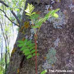 Mountain Ash Trees, Photo of New Branch Growth on Mountain Ash Tree Trunk