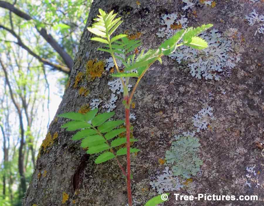 Mountain Ash Tree Picture; New Green Branch Growth on a Mountain Ash Tree