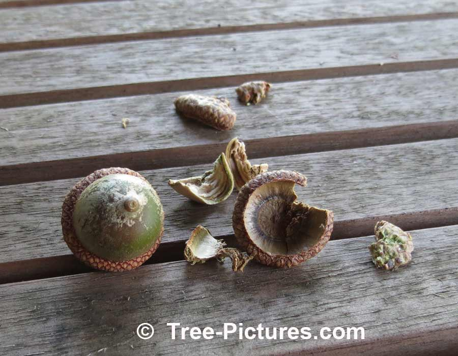Acorns: Fruit From An Oak Tree | Trees:Oak:Red at Tree-Pictures.com