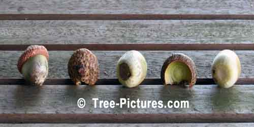 Acorn, Red Oak Tree Acorn | Tree:Oak+Acorn at Tree-Pictures.com