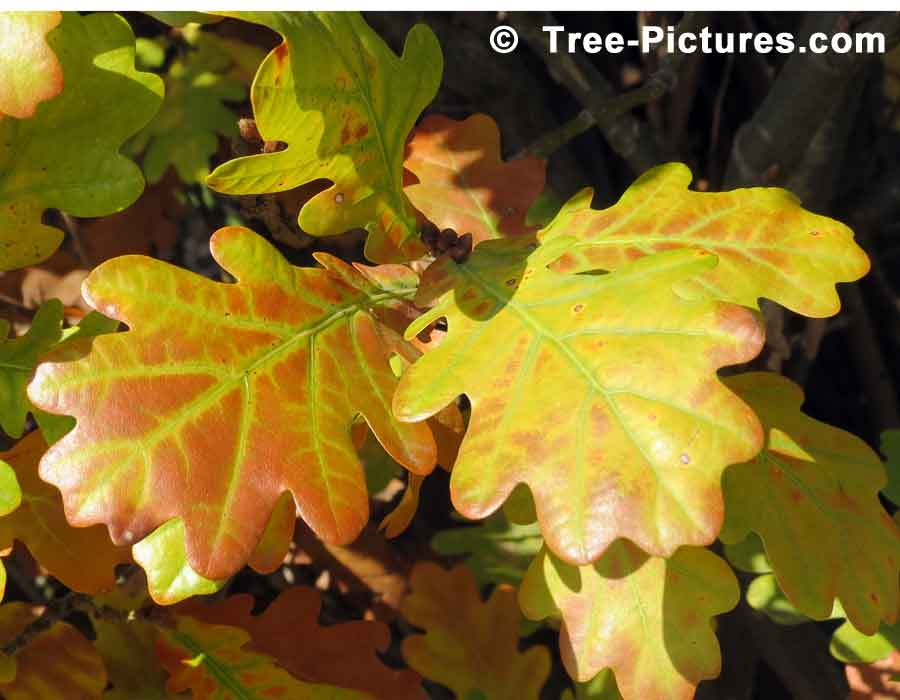 English Oak Tree Leaves Beginning to Change Color in Late Fall | Trees:Oak:English at Tree-Pictures.com