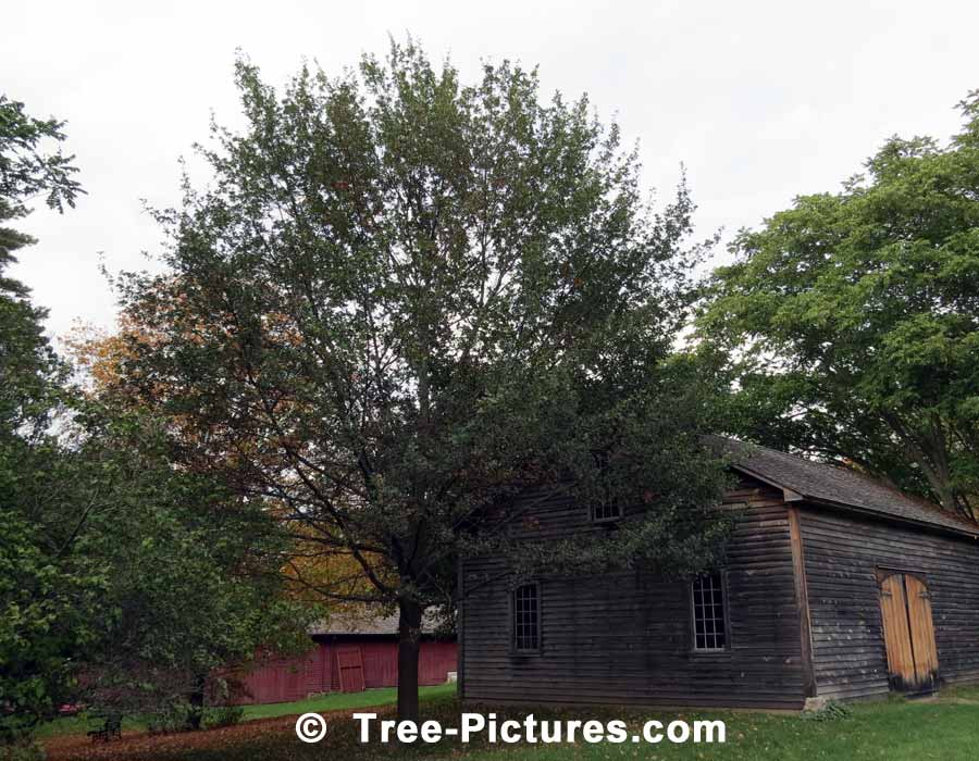 English Oak, Large English Oak Tree | Trees:Oak:English at Tree-Pictures.com