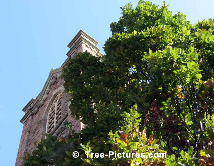 Tall English Oak Tree Used In Church Landscape | Trees:Oak:English at Tree-Pictures.com