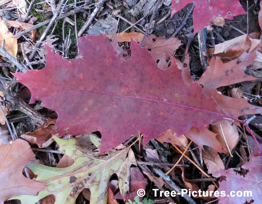 Oak Leaf Picture, Deciduous Oak Sheds Its Leaves in Autumn | Trees:Oak:Red at Tree-Pictures.com