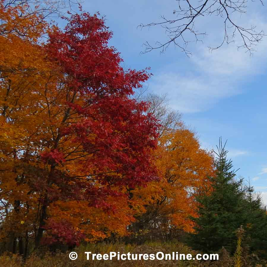 Oak Trees, Photo of Oak Trees Displaying Striking Fall Colors | Trees:Oak:Red at Tree-Pictures.com