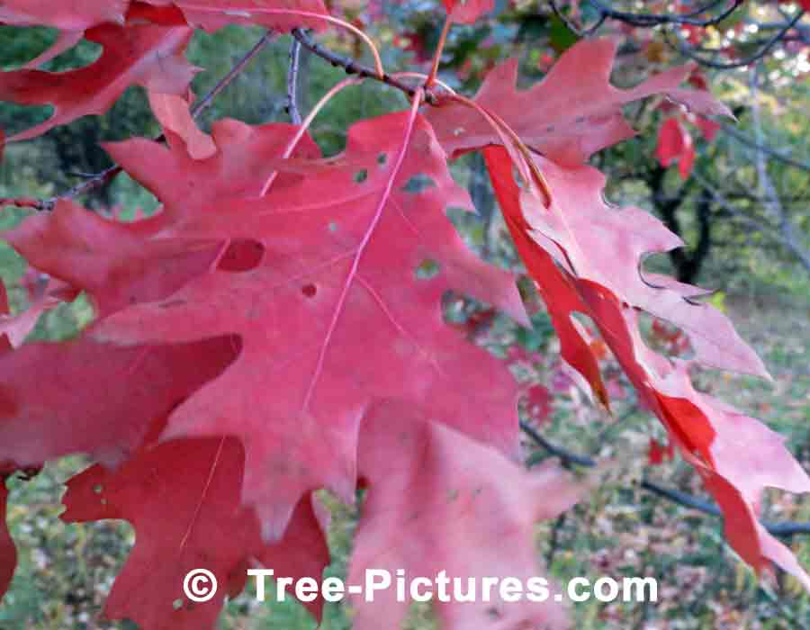 Fall Oak Leaves, Oak Leaf Characteristics Highlited by the Sun's Rays | Trees:Oak:Red at Tree-Pictures.com