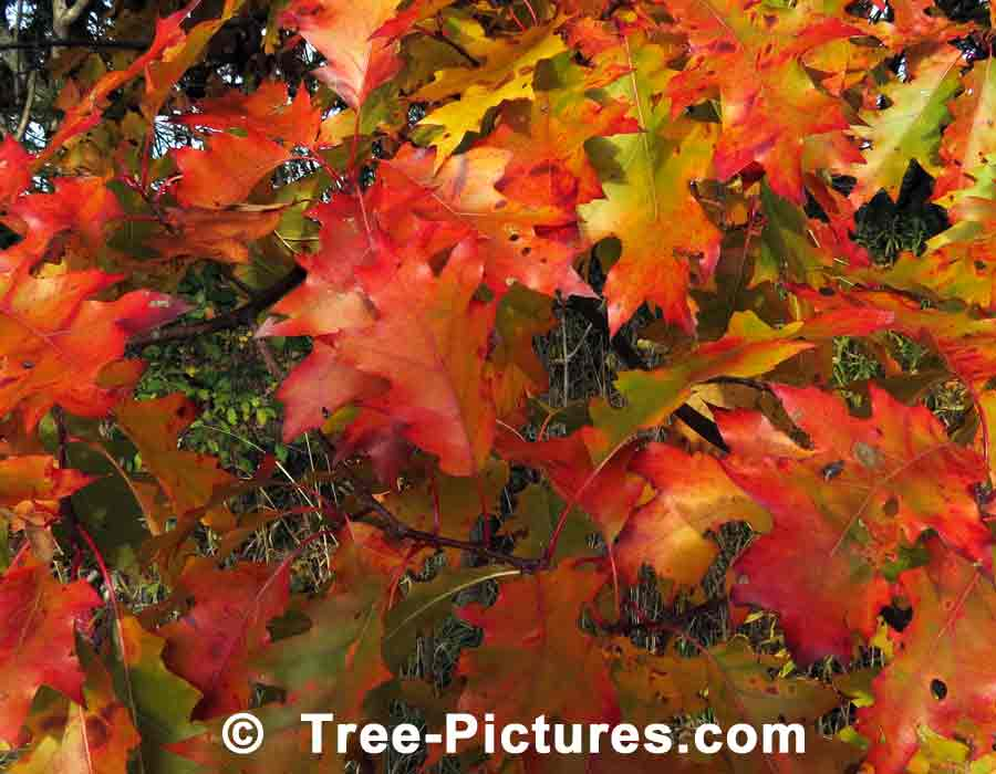 Oak Leaves: Colorful Deciduous Oak Leaves in Autumn | Trees:Oak:Red at Tree-Pictures.com