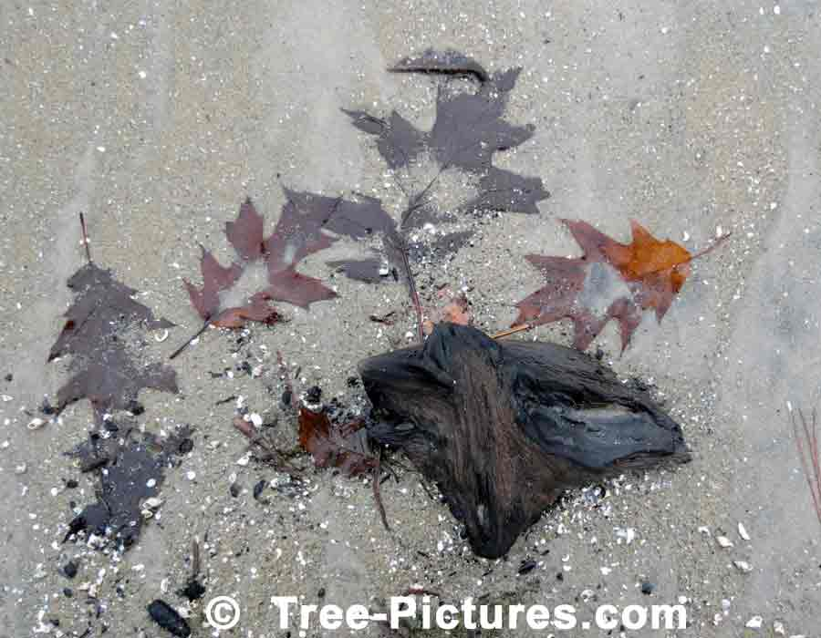 Oak Leaves Washed Up on the Shore at Wasaga Beach, Ontario, Canada | Trees:Oak:Red at Tree-Pictures.com