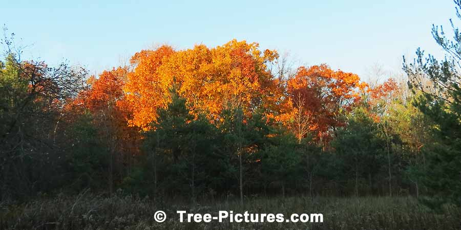 Oak Trees: Autumn Oaks in the Forest | Trees:Oak:Autumn at Tree-Pictures.com
