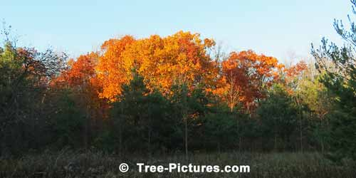 Oak Trees: Autumn Oaks in the Forest | Tree:Oak+Autumn at Tree-Pictures.com
