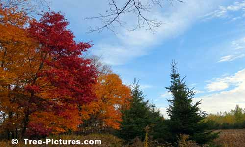 Oak Trees Displaying Bright Autumn Colors | Tree:Oak+Autumn at Tree-Pictures.com
