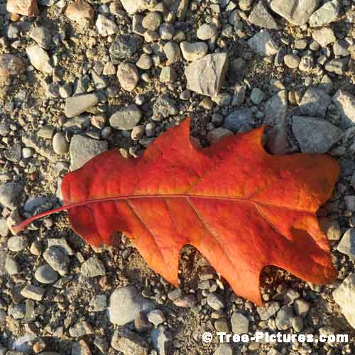 Oak Tree Pictures, Red Oak Leaf on the Gravel Forest Trail Pic