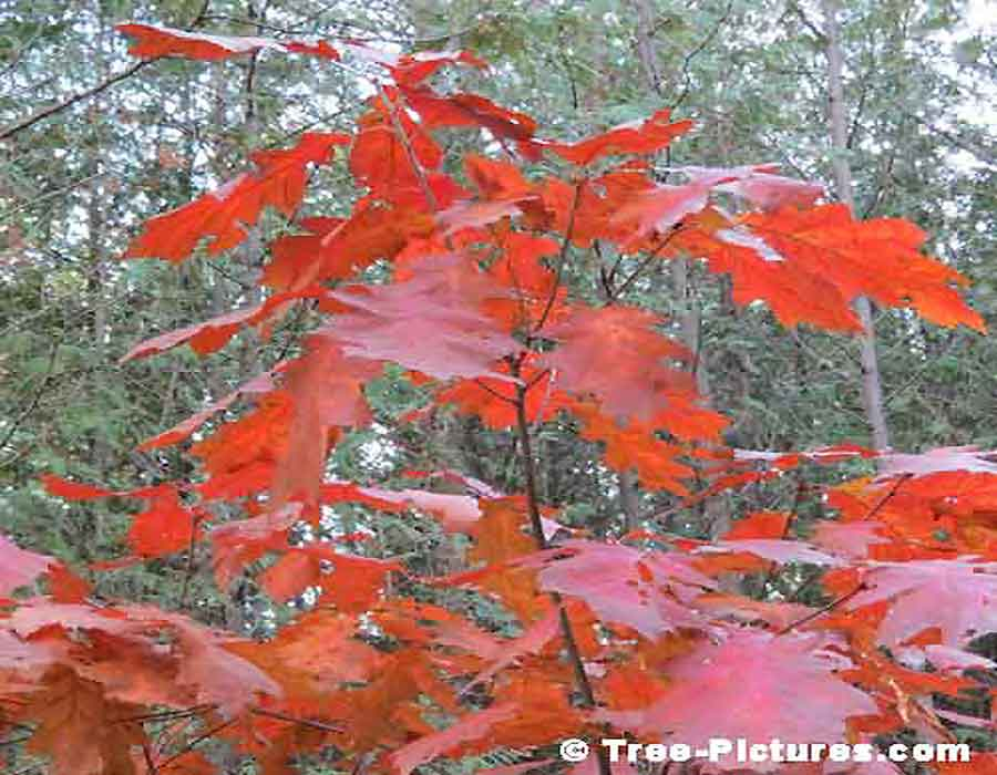 Oak Trees, Red Maple Tree Leaf Photo, Sugar Maple variety produces Maple Syrup | Maple Trees at Tree-Pictures.com