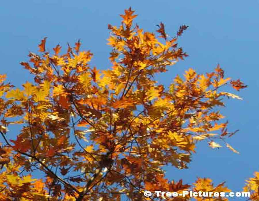 Oak Trees, Yellow Oak Tree Leaves Against A Blue Azure Sky | Oak Trees at Tree-Pictures.com