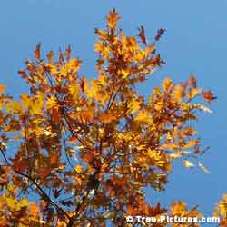 Oak Trees, Yellow Oak Tree Leaves Against A Blue Azure Sky at Tree-Pictures.com
